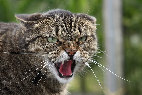 image of Angry Cat Meow