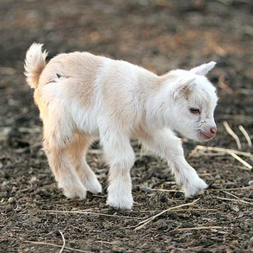 image of Cries of baby Soundclown Goat