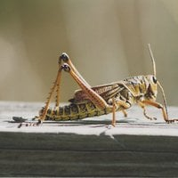 image of Crickets